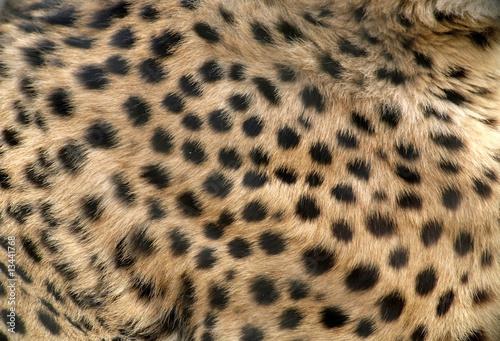 Poster Leopard Skin of Beautiful Cheetah Close-up