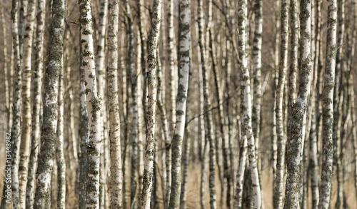 Deurstickers Berkbosje Birch