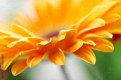 Foto-Duschvorhang - Closeup photo of yellow daisy-gerbera