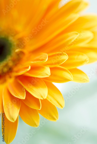 Foto-Kissen - Closeup photo of yellow daisy-gerbera (von silver-john)