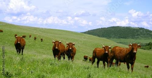 Poster de jardin Vache Vache rouge du Cézallier