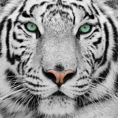 Fototapeta Współczesny white tiger