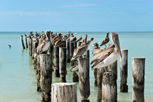 Braun - Pelikane Auf Pier In Florida,USA