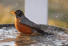 Adult Robin Taking A Bath
