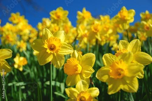 Spoed Foto op Canvas Narcis Gelbe Narzissen (Osterglocken)