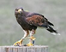 Golden Eagle (lat. Aquila Chry...