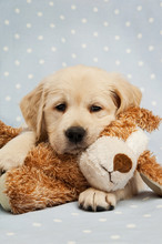 Golden Retriever Puppy Isolated On A Blue Background
