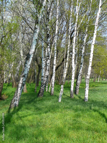 Deurstickers Berkbosje Birches in park