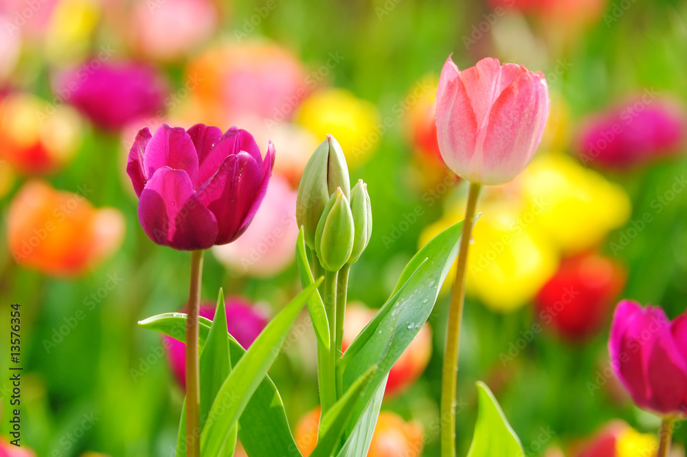 Fototapety, obrazy: Beautiful spring tulips
