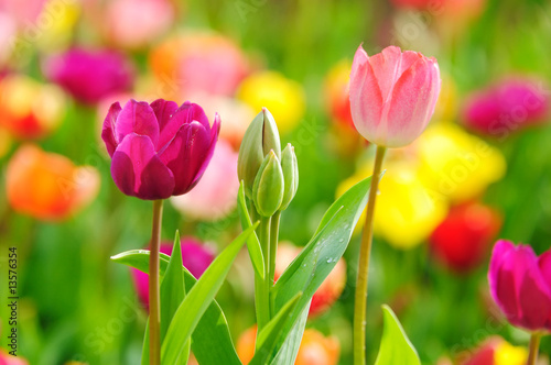 plakat Beautiful spring tulips