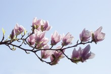 Twig Of Magnolia Tree Blooming