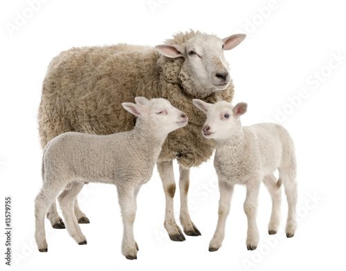 Fotobehang Schapen a Ewe with her two lambs