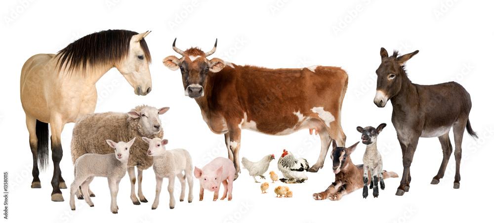 Fototapeta group of farm animals : cow, sheep, horse, donkey, chicken, lamb