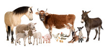 Group Of Farm Animals : Cow, S...