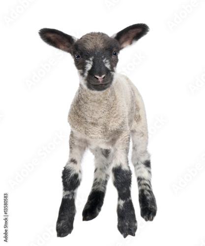 Fotografía Black and white Lamb facing the camera (15 days old)