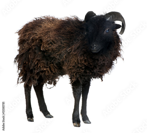 Fotografia Black sheep - Ouessant ram (4 years old)