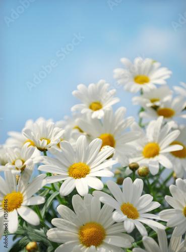 Foto op Canvas Madeliefjes Field of daisy