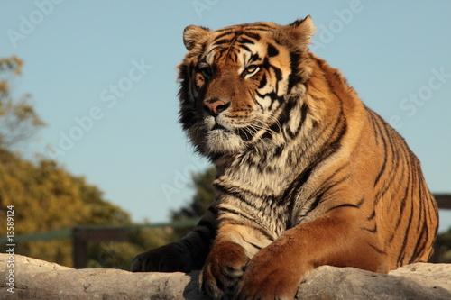 Naklejki tygrys   tygrys