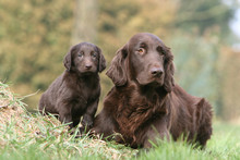 Flat Coated Retriever Et Son C...