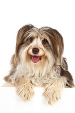 Bearded Collie Isolated On A W...