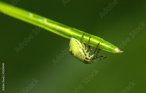 Photo green aphis