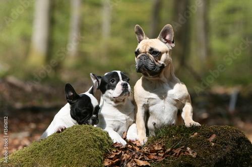 Photo sur Toile Bouledogue français bouledogue français adulte et ses deux petits dans la foret