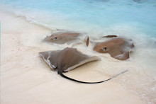 A Group Of Stingrays Meet At T...