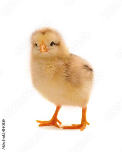 Foto-Flächenvorhang ohne Schienensystem - chicken (von Anatolii)