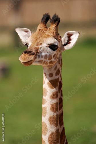 Naklejki żyrafa  puppy-giraffe