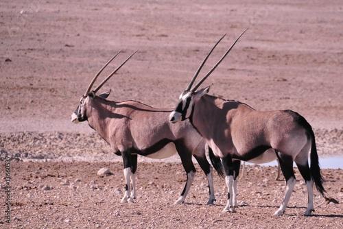 Keuken foto achterwand Antilope Safari en namibie