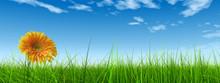 3D Grass Over A Blue Sky Banner With A Natural Orange Flower