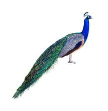 Peacock Profile Cutout