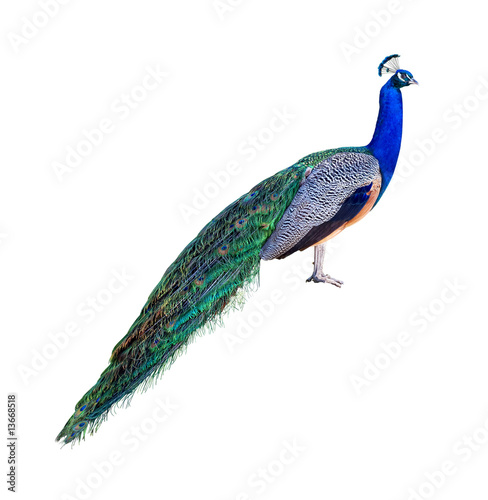 Spoed Foto op Canvas Pauw Peacock profile cutout