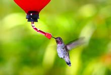 Anna's Hummingbird~ Calypte An...