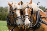 Fototapeta Konie - A matched pair of draft horses