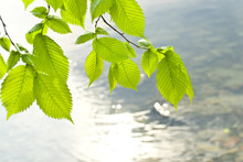 Transparent Leaves Of Elm Against The River