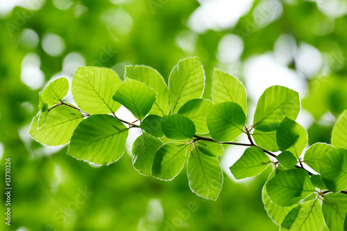 Detail of fresh beech tree leaves in early spring