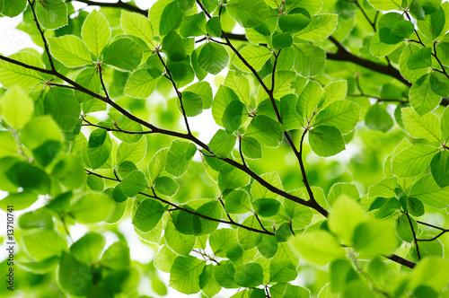 Fototapeta Detail of fresh beech tree leaves in early spring