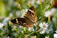 Buckeye Butterfly Macro