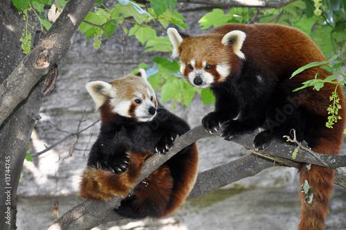 Kleiner Panda Fototapet
