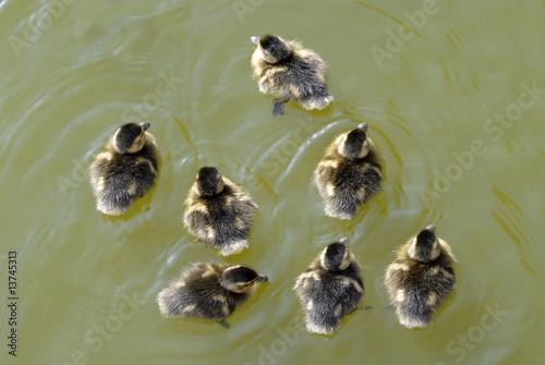 Fotografie, Obraz  Poussins de canard colvert sur l'eau