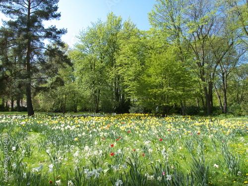 Fototapeta Field with tulips obraz na płótnie