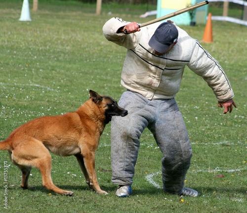 dressage chien de berger