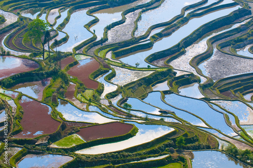 Garden Poster Rice fields rice terraces of yuanyang, yunnan, china