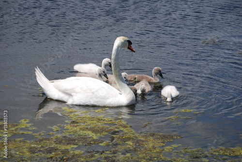 Poster Cygne Mother Swan and Babies