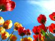 Leinwandbild Motiv Spring flowers, tulip