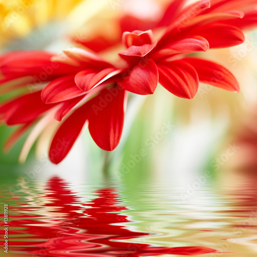 Doppelrollo mit Motiv - Red daisy-gerbera with soft focus reflected in the water
