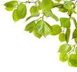 Spring Branch of linden