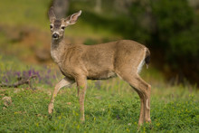Young Buck In A Meadow
