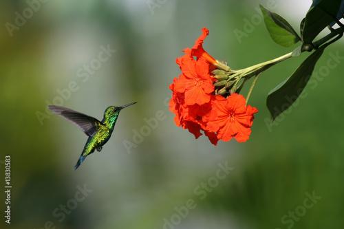Foto op Plexiglas Caraïben Blue-tailed Emerald